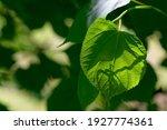 Green Linden Leaf Trapped In...