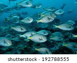 Small photo of School of surgeonfish - Acanthurus monroviae