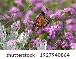 A Monarch Butterfly Pollinating ...