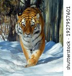 In Winter Amur Siberian Tiger...