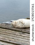 A Large Bearded Adult Seal...