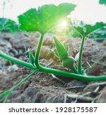 Close Up Pumpkin Flower And...