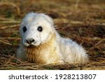 New Born Atlantic Grey Seal...