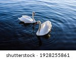 The Couple Of Swans On Blue...