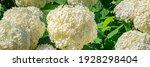 Many Annabelle Hydrangea White...
