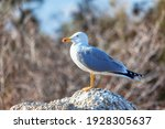 Portrait Of Seagull Standing On ...