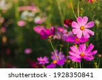 Pink Cosmos Flowers Or Mexican...