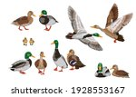 Mallard duck set. Male, female and ducklings of the Mallard duck Anas platyrhynchos. Realistic vector illustration of wild birds of Europe, America and North Africa.