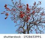 Indian Bombax  Red Silk Cotton...