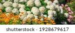 Annabelle Hydrangea White...