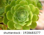 Aeonium Lily Pad Close Up ...