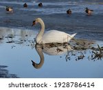 Close Up Of White Swan Laying...