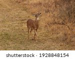 Four Point Whitetail Buck In A...