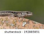 Portrait Of A Lacertid Lizard...