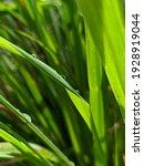 Lemongrass Is A Type Of Tall...