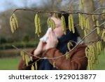 Pollen Of Flowering Hazel Trees ...