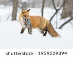 Red Fox In Winter With Fresh...
