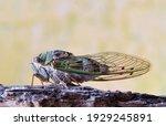 Western Dusk Singing Cicada ...