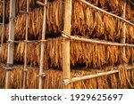 Curing Burley Tobacco Hanging...