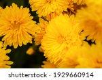 Yellow Chrysanthemums Bloom...