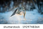 Northern hawk owl  surnia ulula ...