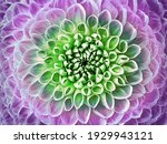 Dahlia Purple Flower.  Macro....