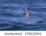 Black Bellied Storm Petrel ...
