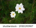 Garden Cosmos Bipinnatus White...