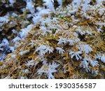 Moss. Mosses  The Taxonomic...