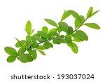 privet  ligustrum vulgare ... | Shutterstock . vector #193037024