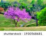 A Beautiful Redbud Tree In...