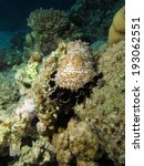 Small photo of Graeffe's sea cucumber (Bohadschia graeffei, holothurian, echinoderm)
