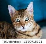 Portrait Of A Bengal Kitten Cat ...