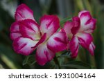 Blossom Of Double Petal Bicolor ...