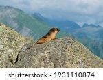 Himalayan Marmot  Latin  ...