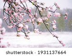 Small photo of Apple tree blossoms covered in snow during unexpected snowfall in spring. Blooming flowers freezing under white snow in the garden.