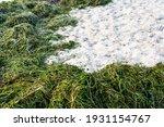Ecological Problem. Green Algae ...