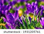 Crocus Purple Flowers In Sunny...