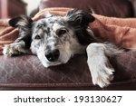 border collie   australian... | Shutterstock . vector #193130627