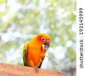Small photo of The Fischer's Lovebird (Agapornis fischeri)