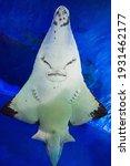 Guitarfish or Guitar fish or Rhinobatidae face closeup view in aquarium. Guitarfish is a kind of rays.