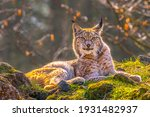 Cute Young Lynx In The Colorful ...