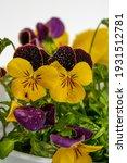 Viola Tricolor  Field Flower ...