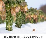Brussels Sprouts In Winter...