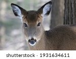 White Tail Deer Female Close Up
