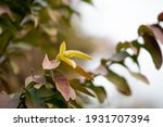 guava leaves on the tree in an... | Shutterstock . vector #1931707394