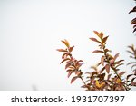 guava leaves on the tree in an... | Shutterstock . vector #1931707397