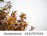 guava leaves on the tree in an... | Shutterstock . vector #1931707424