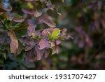 guava fruit tree in an organic... | Shutterstock . vector #1931707427