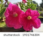 Pink Petunia Flowers In A Pot